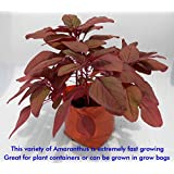 SEED Seller: Red Leaf Vegetable Amaranthus Spp, Laal Saag Seeds AR-1. Maroon Red Leaves, Fast Growing, High Yielding...