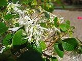 生垣に大人気の樹木☆トキワマンサク樹高1.0m前後 青葉・白花 常盤満作