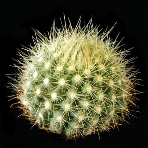 Parodia penicillata seeds