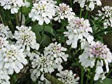 South Eastern Horticultural Pack X6 Iberis Sempervirens 'Candytuft' Perennial Garden Plug Plants