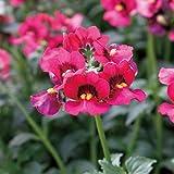 ネメシア:メロウチェリーソルベ3.5号3株セット[寄せ植えや花壇に]