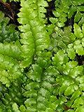 Staudenkulturen Wauschkuhn Polystichum polyblepharum - Japanischer Glanzschildfarn - Farn im