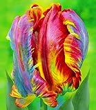BALDUR-Garten Regenbogen-Tulpen 'Blumex®', 10 Zwiebeln