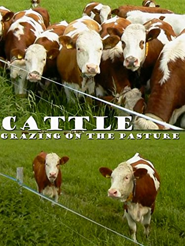 Cattle: Grazing on the pasture