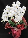胡蝶蘭 誕生日 開店祝い用の花 白大輪 3本立ち  期日指定可能