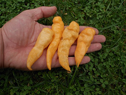 Devil's Tongue *Peach* Hot Pepper 10+ Seeds (Devils Tongue compare prices)