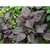1000 Perilla Seeds, Red Leaf Shiso (Perilla Frutescens) Easy to Grow Herb