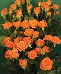 120 Real Fresh Spray Rose, Babe