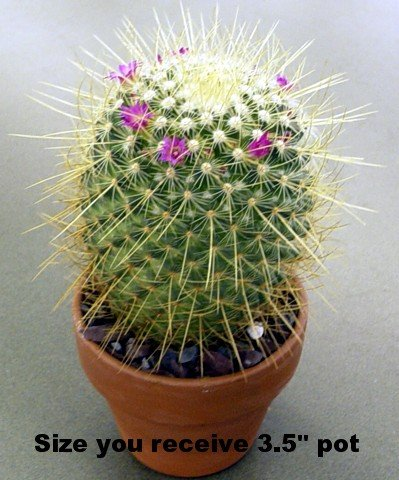 Buy Columbian Pin Cushion Cactus – Mammillaria columbiana