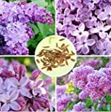 30pcs Purple Fragrant Lilac Shrub Seeds Vulgaris Syringa Flowers Seed by Lovestore2555