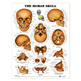 The Human Skull Poster