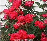 KCmart 100 Rose Double Knock Out Seeds Landscape Planning - Easy to Grow Roses Shrub Rose Seeds Bonsai Flower And Garden Plants Seeds