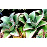 3 Mother of thousands Kalanchoe daigremontiana~mexican hat plant succulent