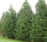 Leyland Cypress Tree - Privacy Screen - Live Plant - 1 Gallon Pot