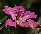 Purple Orchid Tree 10 Seeds -Bauhinia purpurea-Tropical
