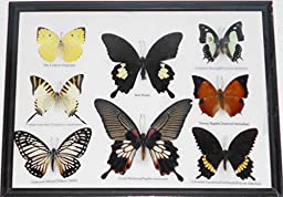 REAL 8 BUTTERFLIES Collection TAXIDERMY Framed