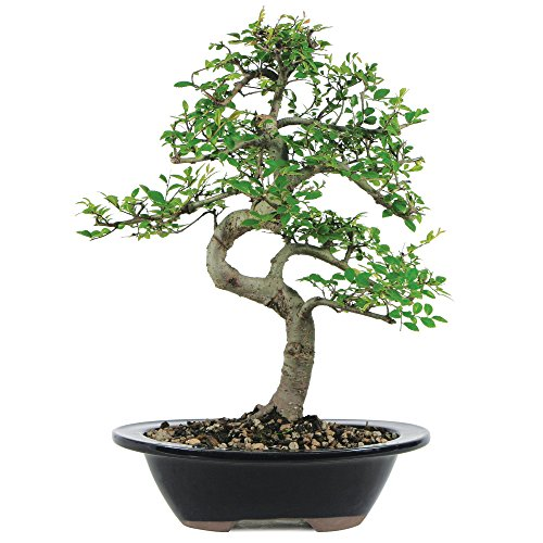 Brussel's Chinese Elm Bonsai