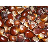 100 HYBRID AMERICAN CHESTNUT TREE SEEDS FOR PLANTING FALL HARVEST