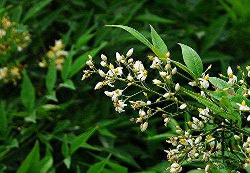 arbol-de-hoja-perenne-arbusto-nandina-domestica-semillas-semillas-40pcs-nan-tian-zhu-celestial-bambu