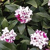 沈丁花(ジンチョウゲ):赤花4~5号ポット[香りのよい小花をたくさん咲かせます]
