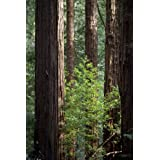 "Seedeo K�sten - Mammutbaum (Sequoia sempervirens) 30 Samenvon ""Seedeo"""