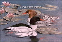 Mergansers - Drawing by Cindy Farmer