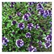 SeeKay Thyme 'Purple Creeping' Min 700 seeds