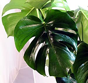 "Split Leaf Philodendron 4"" Pot - Monstera - Easy to Grow"