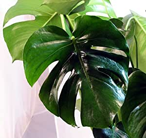 "Split Leaf Philodendron 4"" Pot - Monstera - Edible Fruit Tastes Like Pineapple"