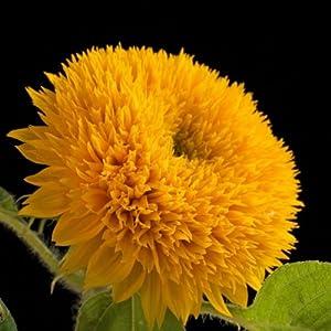 """(ASUNDW)~""""TEDDY BEAR"""" SUNFLOWER~Seeds!!~~Every Gardener's Wish!!"""