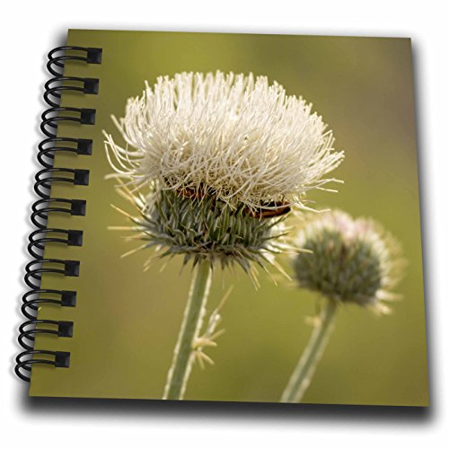 Danita Delimont - Flowers - White thistle, Red Rock Canyon Conservation Area, Las Vegas, Nevada - Mini Notepad 4 x 4 inch (db_205291_3)