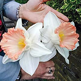 British Gamble Trumpet Daffodil 5 Bulbs 14/16 cm - Huge Pink Flowers