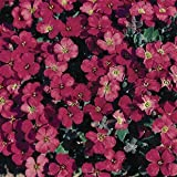 SeeKay Aubretia 'Royal Red' Appx 200 seeds