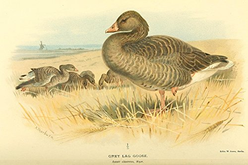 archibald-thorburn-birds-of-the-british-islands-1885-goose-grey-lag-artistica-di-stampa-6096-x-9144-