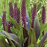 Sparkling Burgundy Pineapple Lily Bulb/ Pineapple Flower/ Eucomis Comosa