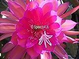"Epiphyllum ""Glow Bug"" Orchid Cactus Cutting"