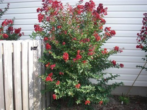 35 DYNAMITE RED CREPE MYRTLE Lagerstroemia Flowering Shrub Bush Small Tree Seeds (Small Bushes compare prices)