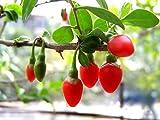 100 HIMALAYAN TIBETAN GOJI BERRY WOLFBERRY FRUIT Bush Lycium Barbabarum Seeds