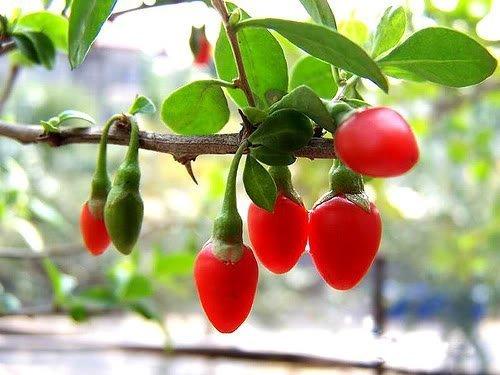 100 HIMALAYAN TIBETAN GOJI BERRY WOLFBERRY FRUIT Bush Lycium Barbabarum Seeds (Berry Bush compare prices)
