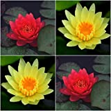 (Combo Of 2 Colors) Floral Treasure YELLOW & RED Lotus Seeds - Pack Of 10