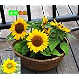 10 Seeds Mini Sunflower Seeds Dwarf Sunflower Seeds Sunflower Series Height 40cm Flower Seeds Multi-.ed