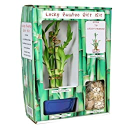 Eve\'s Lucky Bamboo Gift Kit - Complete with 5 Lucky Bamboo Stalks, Vase, Pebbles, Ready to Plant, Gift of Good Fortune and Luck