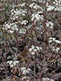 Anthriscus sylvestris 'Ravenswing' purple cow parsley x 3 plug plants