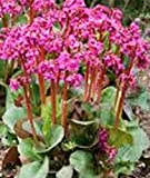 Sycamore Trading BERGENIA or Large-leaved Saxifrage