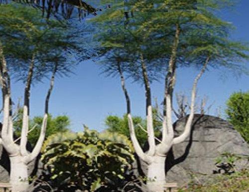 5 Very Rare Moringa Oleifera Drumstick Tree, Horseradish Tree Live Tree Seeds