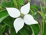 【1年間枯れ保証】【春に花が咲く木】常緑ヤマボウシ株立ち 1.5m18cmポット