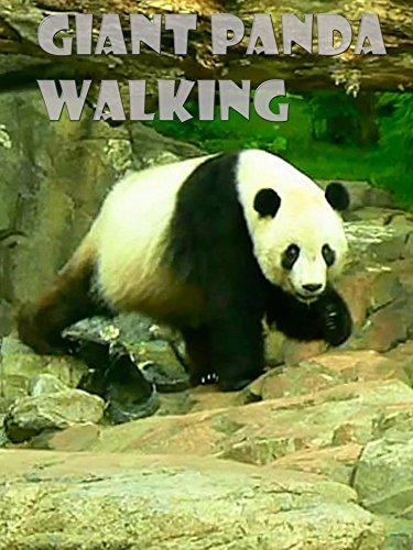 Clip: Giant Panda Walking