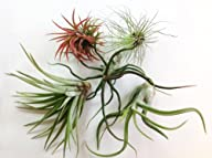 Glass Home Gardens – Tillandsia Varie…