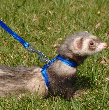 Marshall Ferret Harness