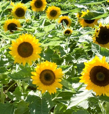 Sunflower Dwarf Big Smile D1312 (Yellow) 25 Seeds By David'S Garden Seeds
